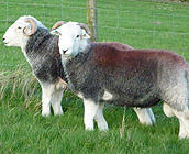 New tup shearlings bred by Kevin Wrathall